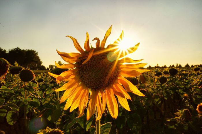 Plant Growth Flower Flowering Plant Freshness Beauty In Nature Fragility Flower Head Vulnerability  Yellow Close-up Petal Inflorescence Nature Sky Sunflower Pollen No People Sunlight Field