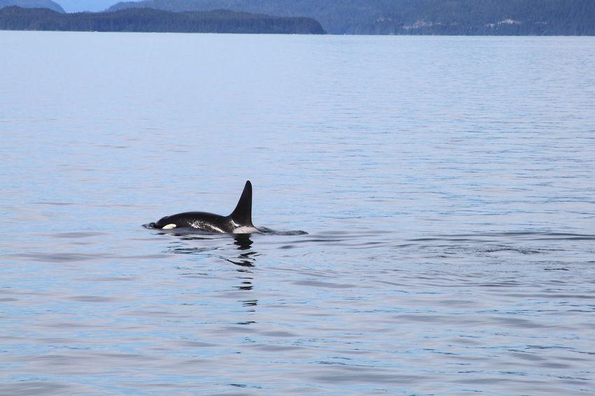 Orca Alaska Nature