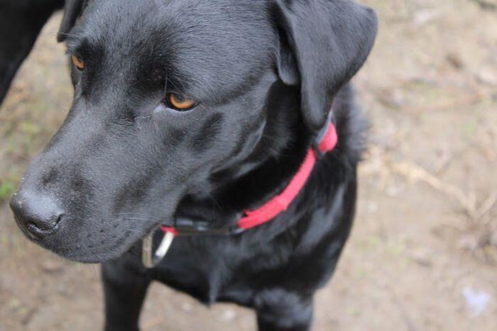 My love Dog Labrador Domestic Animals Black Color Pet Collar Black Labrador Pets Eyes Canonphotography