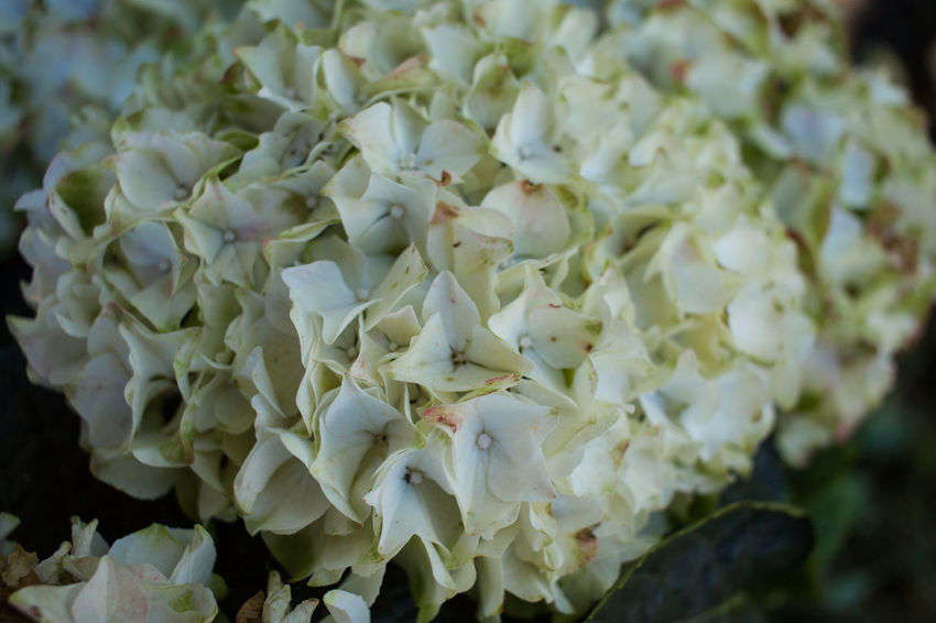Hydrangea Beauty In Nature Day Flower Flower Head Fragility Freshness Nature No People Outdoors Petal White Color