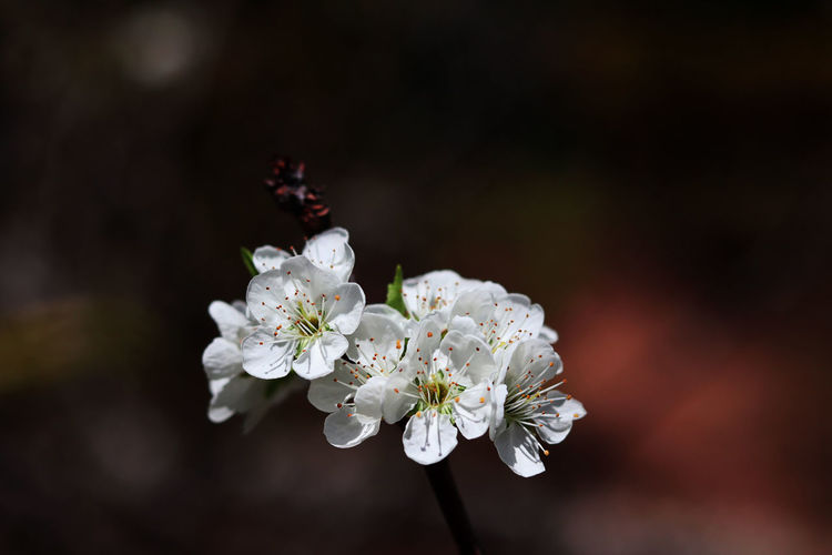 Flower Flowering Plant Plant Fragility Freshness Vulnerability  Beauty In Nature White Color Growth Close-up No People Nature Petal Focus On Foreground Flower Head Blossom Tree Inflorescence Day Springtime Cherry Blossom Outdoors Pollen Cherry Tree Wild Himalayan Cherry
