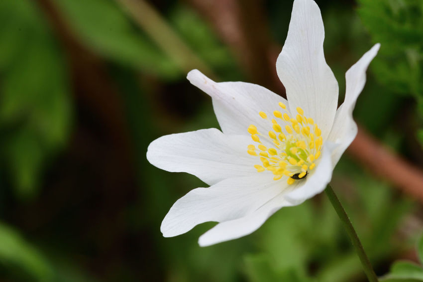 Check This Out EyeEm Best Shots EyeEm Nature Lover Freshness Growth Nature Taking Photos Wildflower Wood Anemone Beauty In Nature Blooming Close-up Day Flower Flower Head Focus On Foreground Macro Nature_collection No People Outdoors Selective Focus Spring Flowers Springtime White White Flower