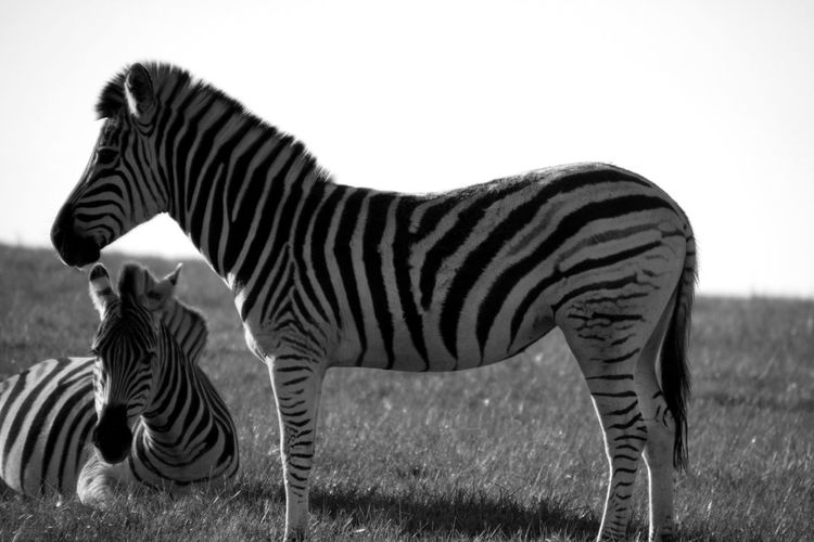 Cape Town Cape Town To Durban Garden Route South Africa Southafrica Zebra Zebras Two Zebras Full Body