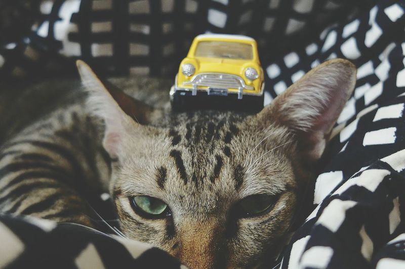 Close-up portrait of cat with yellow toy car on head at home