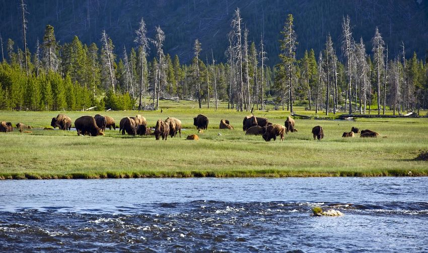 Bison by river on land