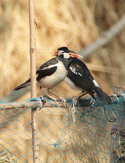 two birds are sitting in a style and love Bird Animal Wildlife Animals In The Wild Vertebrate Animal Themes Animal Perching One Animal Focus On Foreground Fence No People Boundary Barrier Day Chainlink Fence Security Safety Nature Protection Close-up