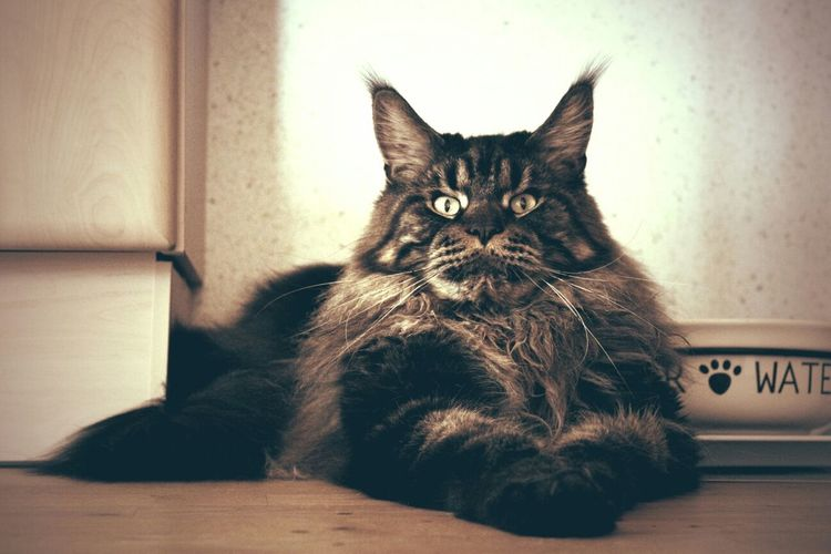 Maylo ? Mainecoon Cat Cat Lovers Katze