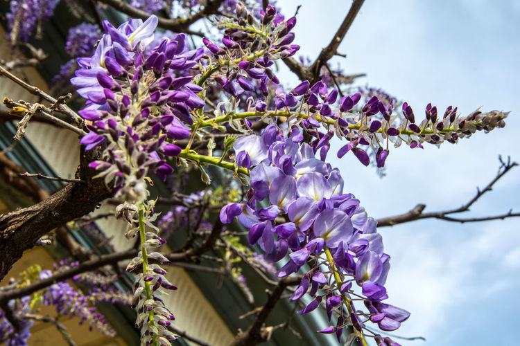 glycine in Merano Lilac Flower Sky And Clouds Beauty In Nature Blossom Blue Blue Sky Buling Delicate Beauty Flower Glycine Pergola