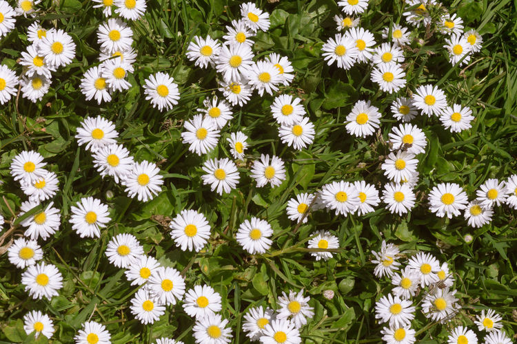 High angle view of daisy flowers blooming on field
