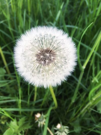 Dandelion blowball Blowball Plant Dandelion Freshness Close-up Growth Flower Fragility Flowering Plant Vulnerability  No People Focus On Foreground Inflorescence Nature Flower Head Beauty In Nature White Color Field Day Outdoors