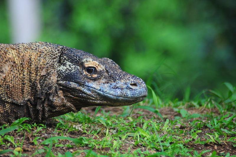 Close-up of komodo dragon on field