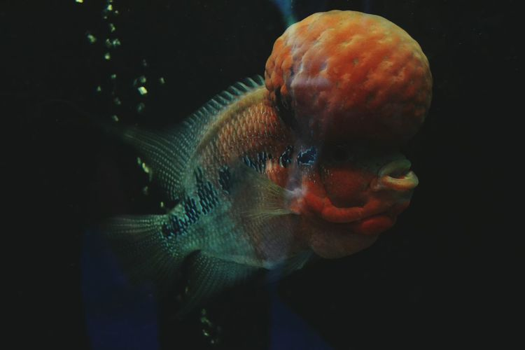 Nuchal hump 😵 Fish Saltwater Male Nuchal Nuchal Head Beautiful So Beautiful  Vibrant Colorful Colourful Underwater Fatty Tissue Storage Head Weird Species Different Love EyeEm Gallery Photography All Day Everyday