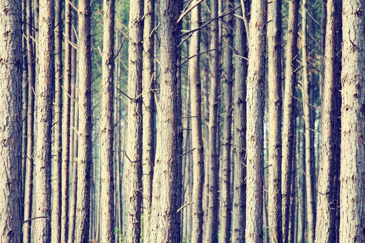 Full frame shot of bamboo trees in forest