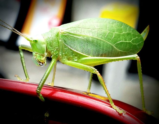 Insect Insect Photography Insect Of The Day Hitchhiker Leaf Bug Green Nature Bug Abugslife Check This Out Hello World EyeEm Getty Images EyeEm Nature Lover