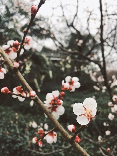 Plum Blossom Nature Flower Beauty In Nature Close-up Petal Branch Springtime Blossom Flower Head Poetry Poetic Spring Flowers Flowers,Plants & Garden