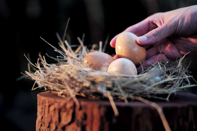 Closeup hand of man picking up the eggs from the bird nest with light of sunset. Easter festival. Harvesting Straw Agriculture Farm Food Raw Fresh Organic Egg Human Hand Human Body Part Hand Food Animal Egg Food And Drink Body Part Close-up Holding Finger Human Finger Easter Celebration Selective Focus Animal Nest Easter Egg