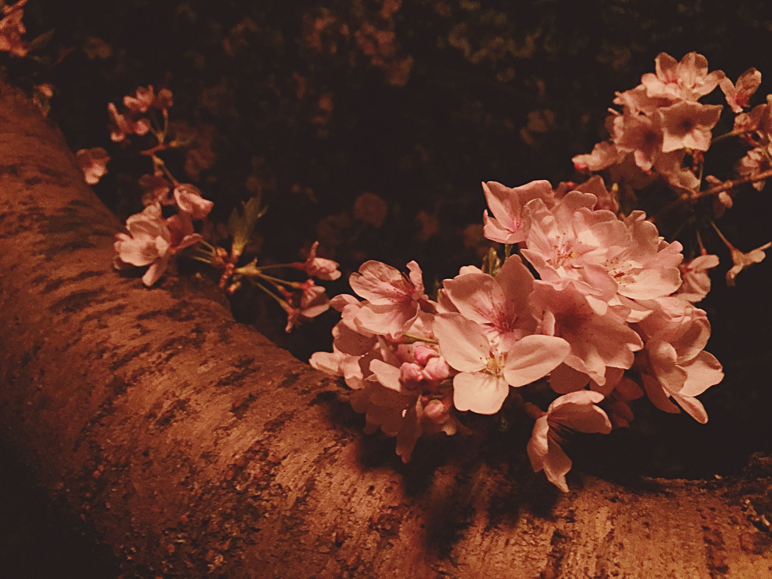 flower, fragility, petal, growth, freshness, nature, beauty in nature, plant, close-up, flower head, pink color, high angle view, leaf, wood - material, blooming, no people, botany, outdoors, sunlight, in bloom