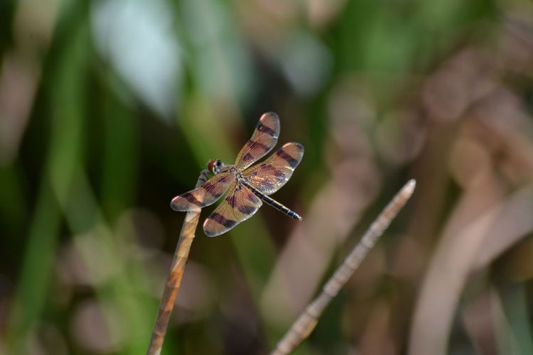 Close-up of halloween pennant dragonfly on reeds