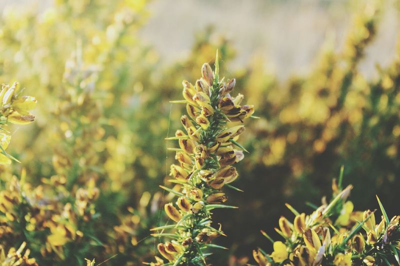 Close-up of yellow spiky flowering plants