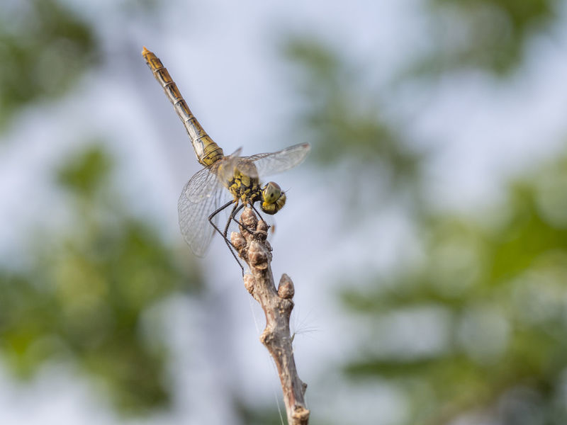 Common darter, young males, Sympetrum striolatum Animal Themes Animal Wildlife Animals In The Wild Beauty In Nature Close-up Day Focus On Foreground Insect Nature No People One Animal Outdoors