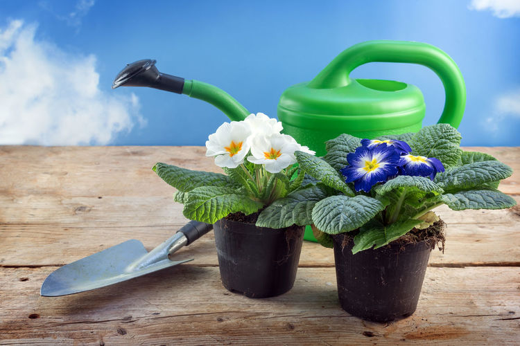 Gardening Plant Planting Primrose Rustic Wood Blooming Blossom Blue Board Flower Growth Leaves Nature Outdoors Plank Potted Primula Purple Shovel Sky Table Watering Can White Wooden