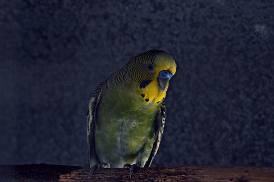 Animal Animals Bird Birds Inseparable New Caledonia