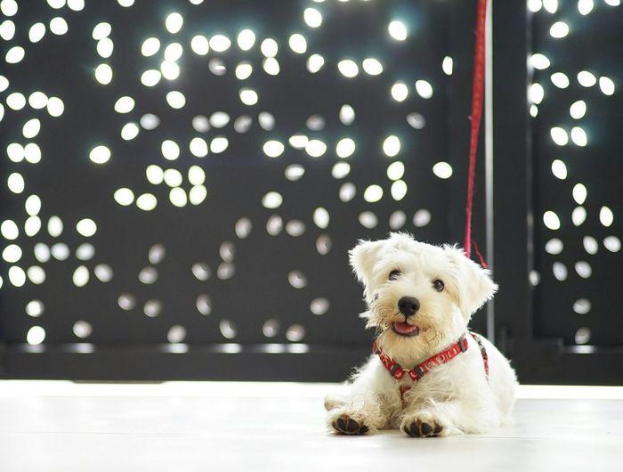 Portrait of miniature poodle sitting on floor
