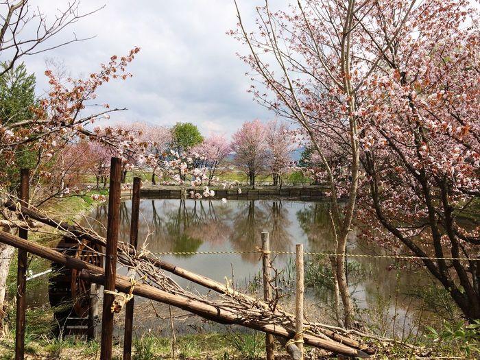 桜 北海道 Tree Plant Water Nature Beauty In Nature Sky Day