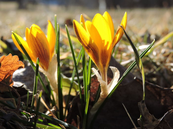Crocus Iris Outdoors Sunlight Land No People Field Day Inflorescence Nature Focus On Foreground Flower Head Yellow Close-up Freshness Petal Fragility Vulnerability  Beauty In Nature Growth Flower Plant Flowering Plant Crocuses Spring 15 Ways Of Seeing Spring Vulnerability  Orange Color