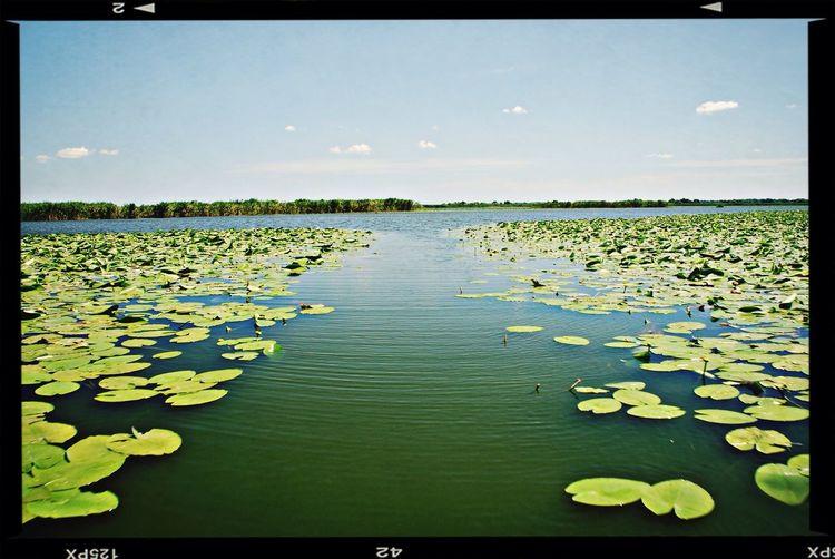 Donaudelta Waterlily Nature Romania