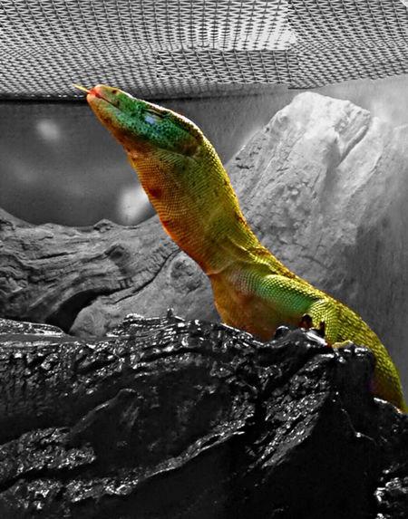 Warm Sunlamp & A Smile IPSGreen Lizard Animals Black And White Zoo