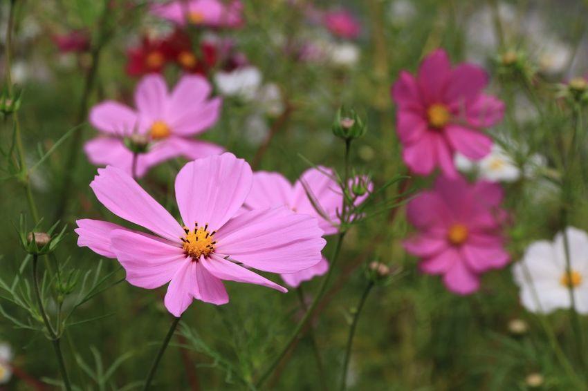 Flower Pink Color Petal Nature Fragility Flower Head Plant