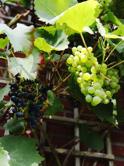 Vine - Plant Fruit Leaf Grape Agriculture Winemaking Vineyard Bunch Rural Scene Wine