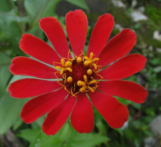 🌼 Zinnia  Zinnias, Flowers Zinnia Flower Zinia Zinia Flowers Petal Red Petals Red Flower Flower Flores Vermelhas Nature Red And Green Flower Red Petal Nature Beauty In Nature Flower Head Plant Pollen Springtime Fragility Focus On Foreground