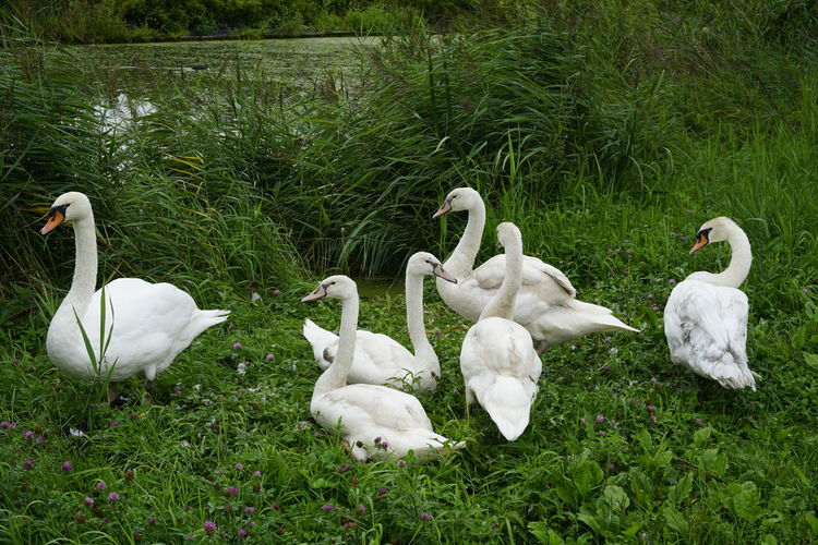 One of the local swan families in Papenveer. Family Animal Animal Family Animal Themes Animal Wildlife Animals In The Wild Bird Cygnet Day Field Grass Green Color Group Of Animals Land Nature No People Plant Swan Vertebrate White Color
