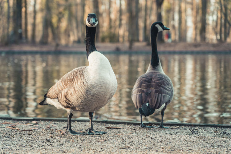 Two Canada Geese at the edge of a small pond in Cologne, Germany. Vertebrate Animal Themes Bird Animals In The Wild Group Of Animals Animal Animal Wildlife Goose Canada Goose Day Nature No People Focus On Foreground Water Bird Water Outdoors Canada Goose Flying