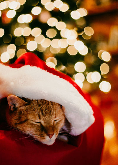 Christmas Holiday Celebration Pets christmas tree Cat Animal Feline Santa Hat Christmas Decoration Kitten Sleeping Beauty In Nature Lights Bokeh Photography