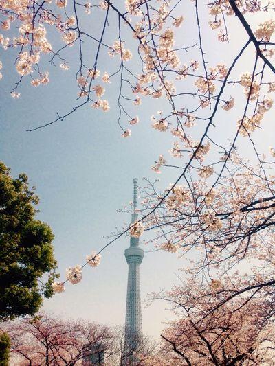 隅田公園 桜 Sakura Hello World Skytree EyeEm