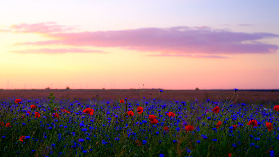 EyeEmNewHere Agriculture Beauty In Nature Cloud - Sky Flower Flowerbed Fragility Growth Idyllic Landscape Multi Colored Nature No People Oilseed Rape Outdoors Plant Poppy Poppy Flowers Purple Rural Scene Scenics Springtime Sunset Tranquility
