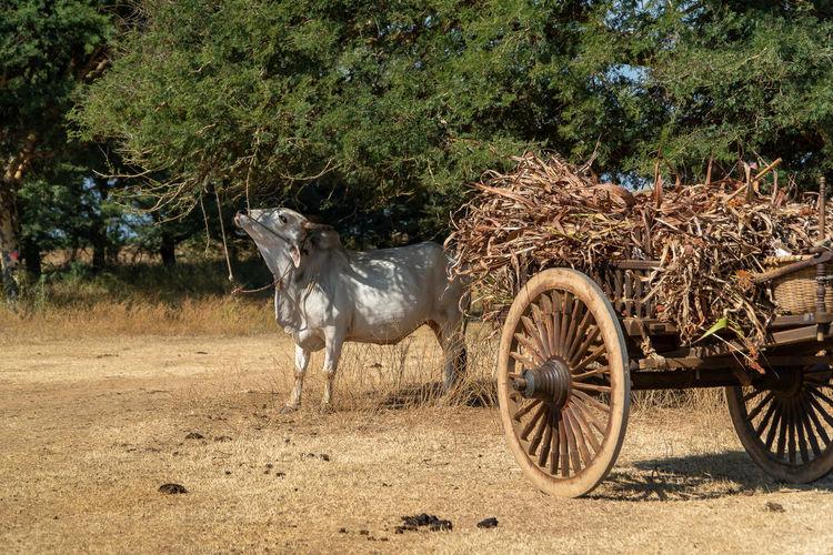 Horse cart in a field
