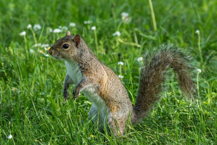 Close-up of squirrel on grass