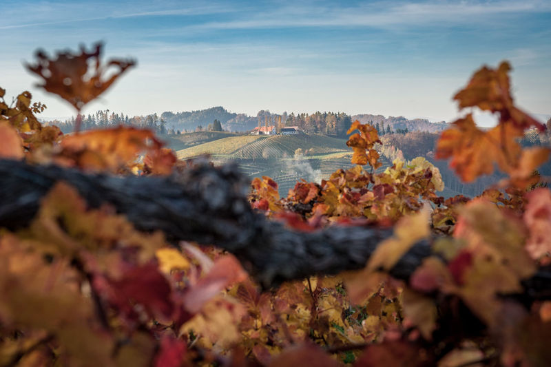 Autumn leaves at a vinyard in Styria Autumn Selective Focus Nature Sky Beauty In Nature Change Plant Plant Part Day Leaf Mountain Scenics - Nature No People Close-up Land Outdoors Focus On Background Tranquility Environment Tree Autumn Collection Vinyard Southern Styria Styria