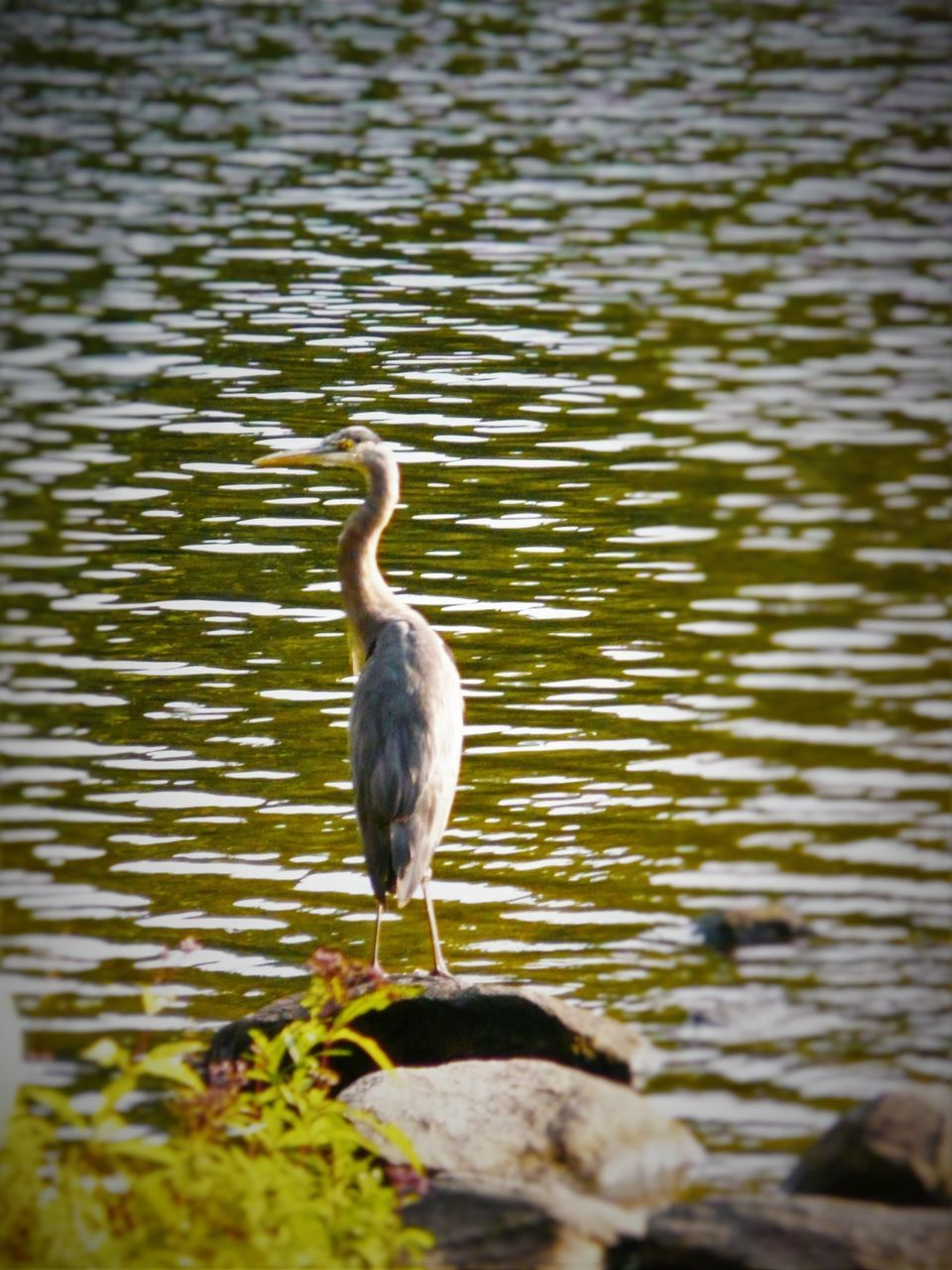 bird, one animal, animals in the wild, animal themes, animal wildlife, water, lake, nature, no people, outdoors, day, beak, perching