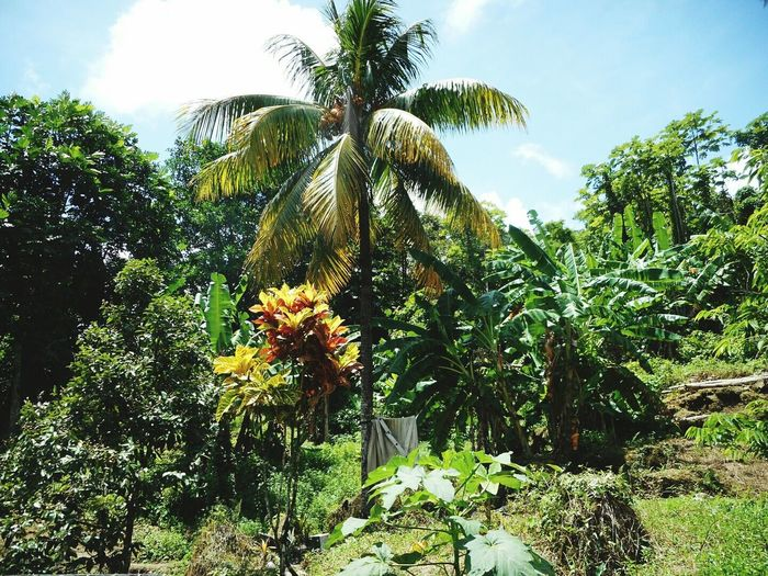 Countryside in Dominica Palm Tree View Dominica Nature Island Travel Rural Countryside Caribbean