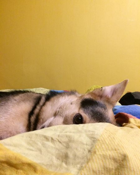 Five more minutes please Dog In Bed Yellow Wall Dog Sleeping  Pets Domestic Animals One Animal Dog Indoors