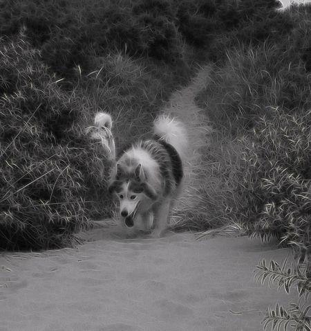 Sila my Alaskan Malamute Malamute Dog
