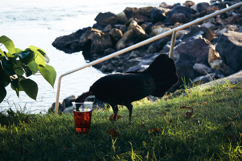 Side view of black bird drinking from glass on field