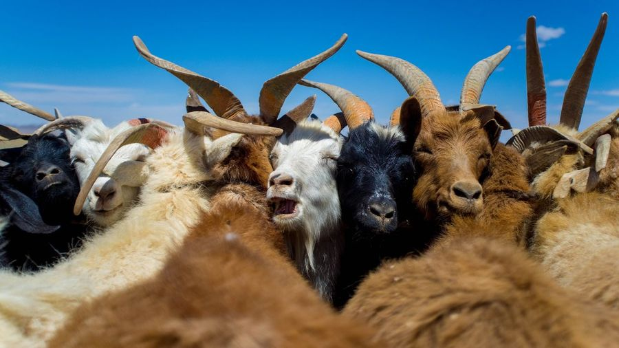 Goats Animal Animal Head  Group Of Animals Mammal Many Goats Mouth Open