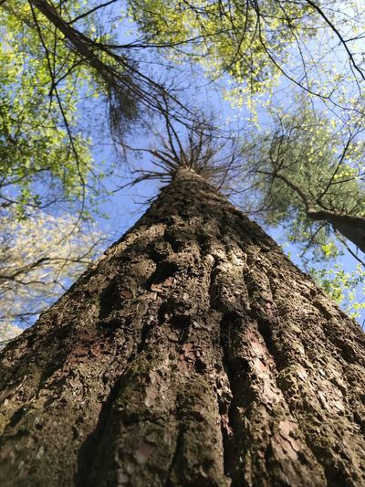 Aaron Blackwell Photography Lookingup Tree Plant Low Angle View Branch Day No People Tree Trunk Nature Trunk Sky Growth Outdoors Beauty In Nature Sunlight The Great Outdoors - 2018 EyeEm Awards