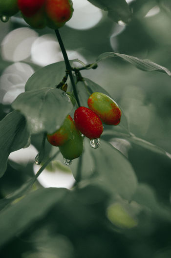 Close-up of cherries growing on plant